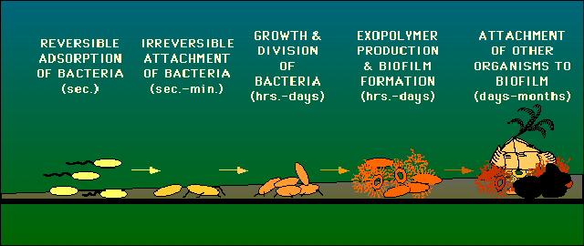 Biofilm Basics