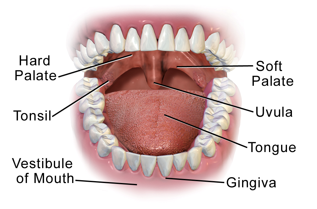Mouth And Stomach