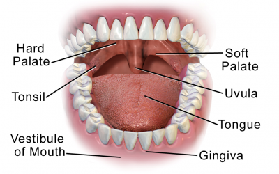 The Mouth and The Stomach – Part 2 and 3 of the 5 Phases of Digestion