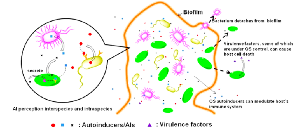 Autoinducers, Biofilm, Bacterial Density, and Quorum Sensing