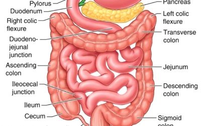 Small Intestine - part 4 of the 5 phases of digestion - leaky gut - SIBO