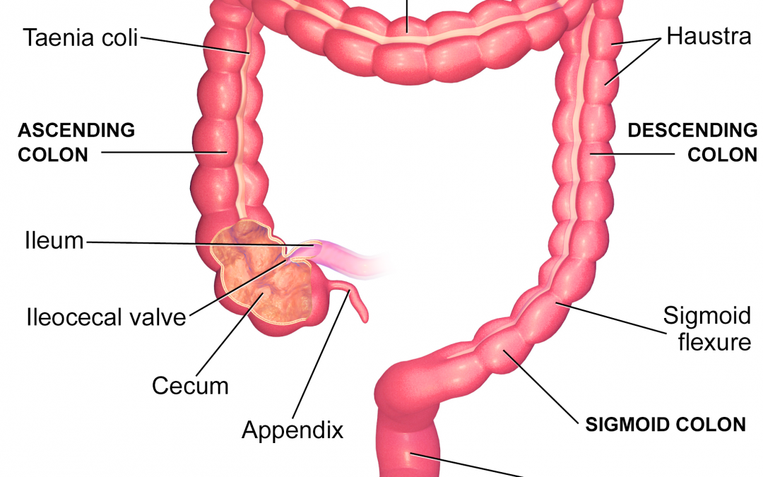 The Large Intestine – Part 5 of the 5 Phases of Digestion